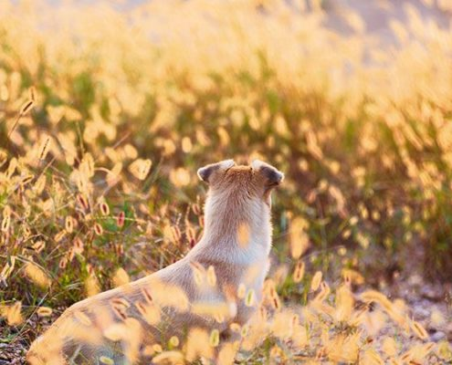 Foxtails: Why they are Dangerous for Dogs